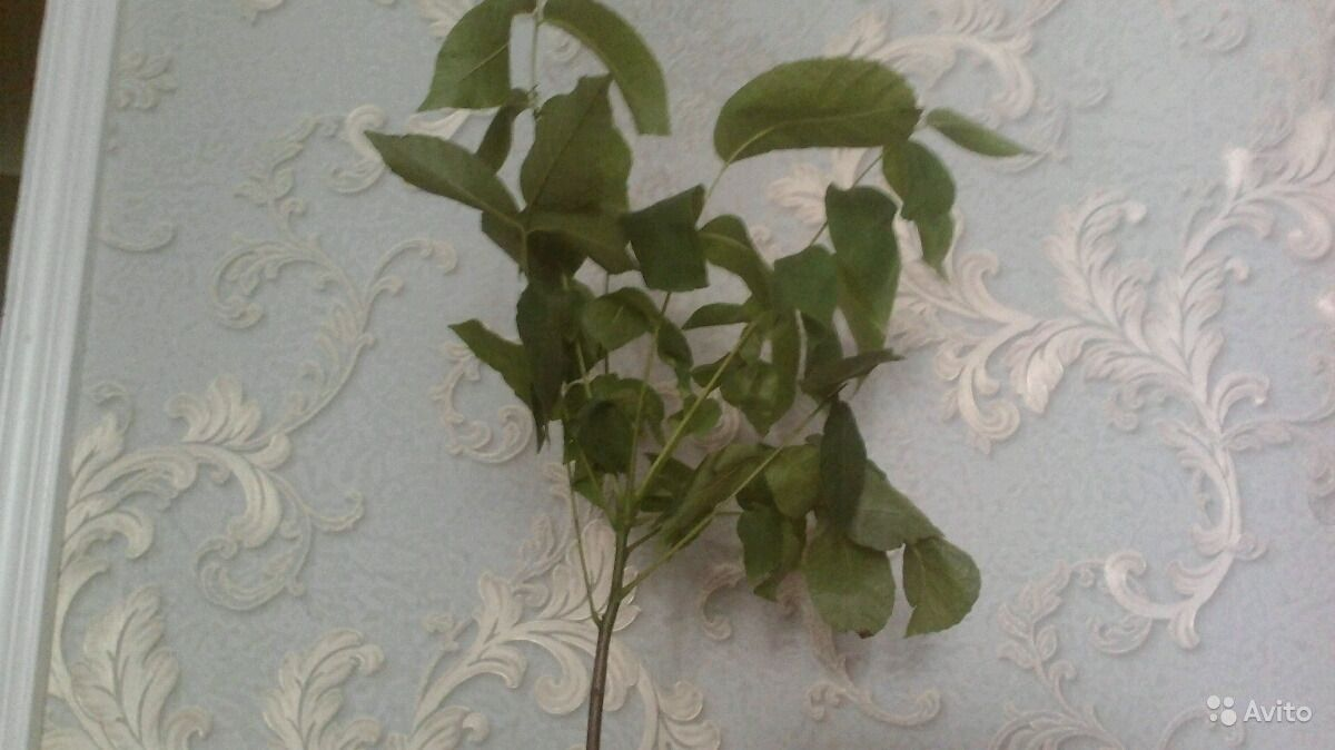 Саженцы грецкого ореха купить на Зозу.ру - фотография № 1