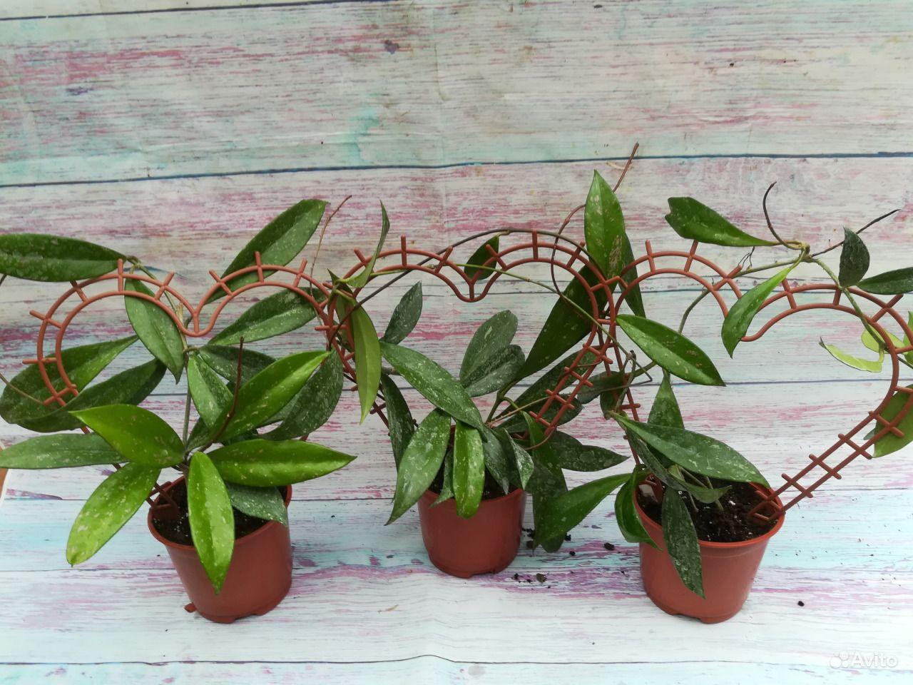 Хойя - взрослое растение купить на Зозу.ру - фотография № 1