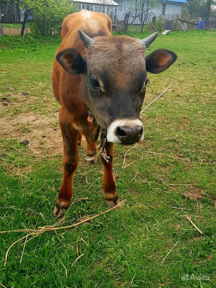 Продаю быка Джерсейской породы