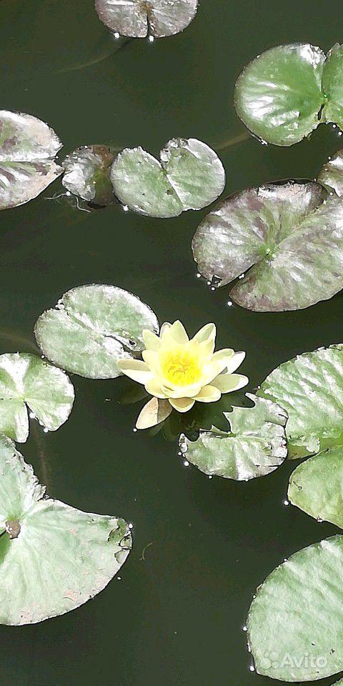 Растения для пруда купить на Зозу.ру - фотография № 7