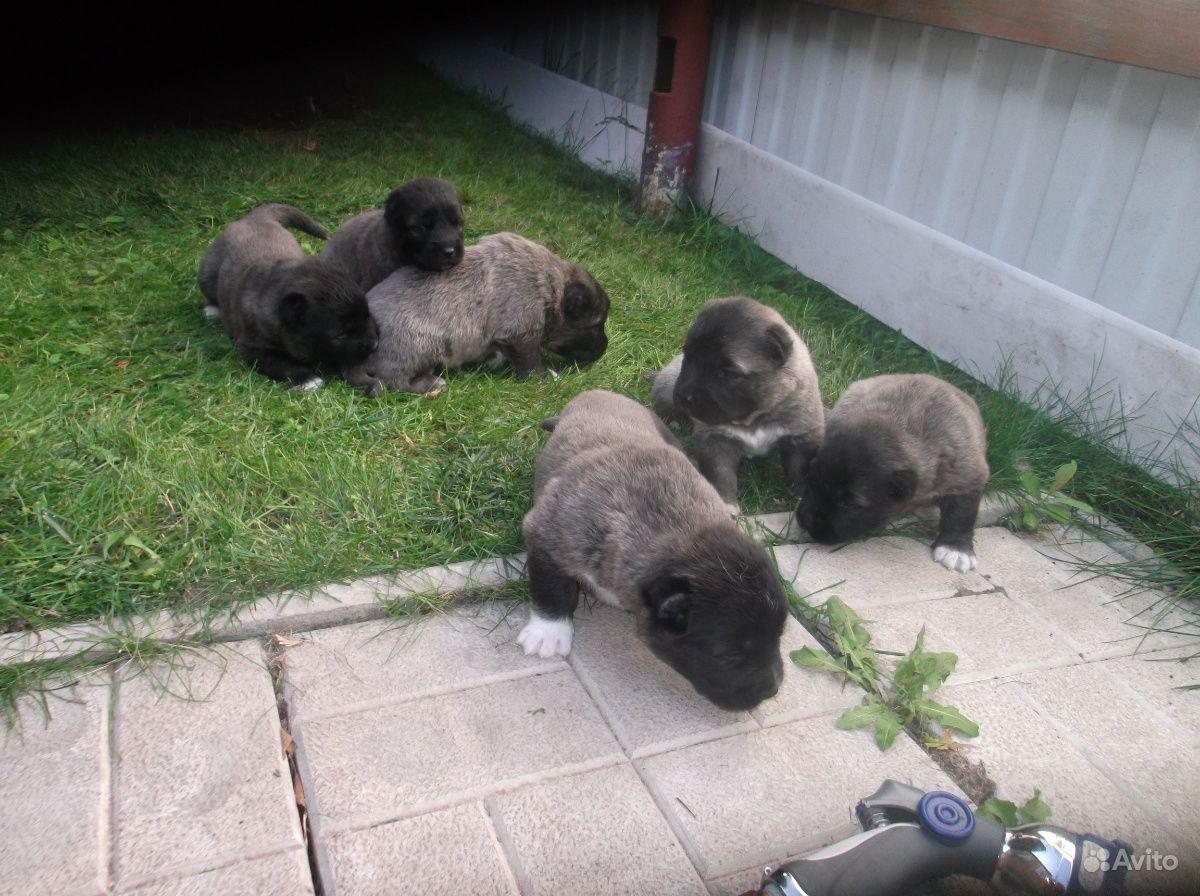 Продаются щенки кавказской овчарки,мама Киара,папа
