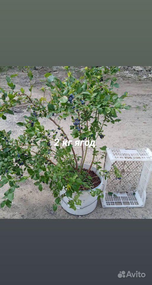 Голубика купить на Зозу.ру - фотография № 4