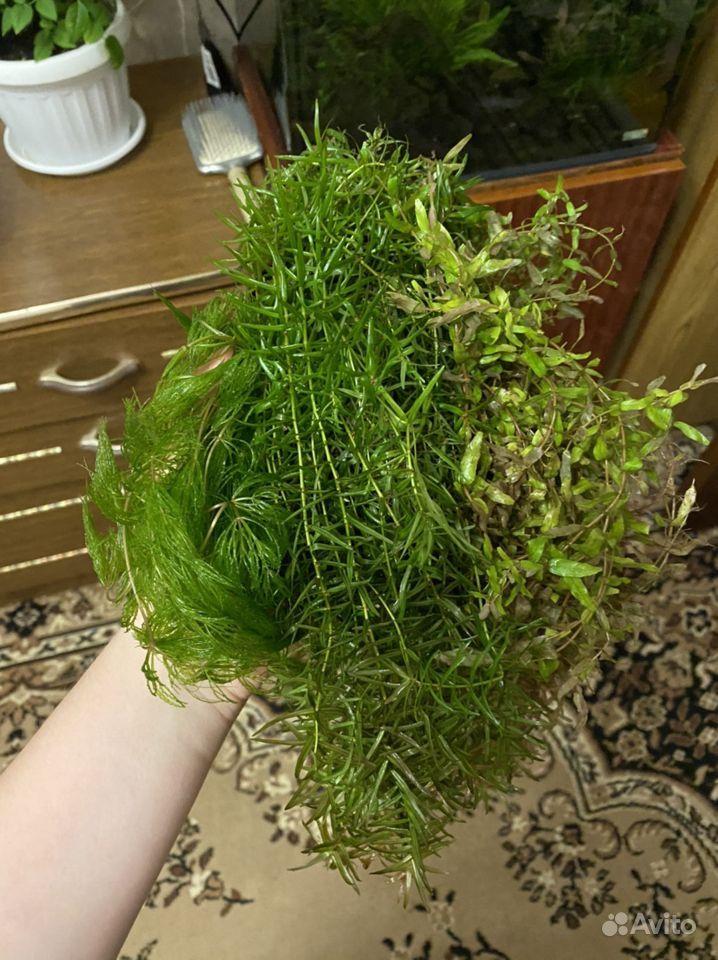 Аквариумные растения купить на Зозу.ру - фотография № 1