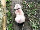 Шотландец вислоухий котик, приглашает кошечку на в