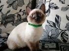 Продам тайского котенка