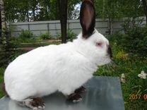Кролики Калифорнийской породы купить