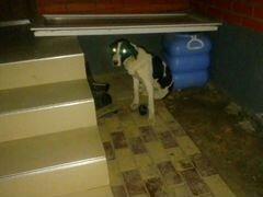 Охотничий собака