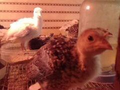 Цыплята индюшата