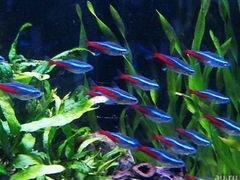 Аквариумные рыбки голубой неон