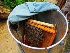 Продаю пчелиный рой