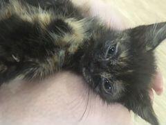 Котёнок девочка 2 месяца