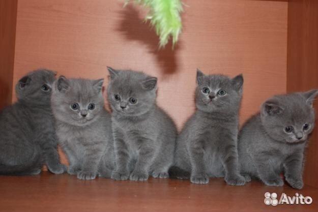 фото шотландских котят в один месяц #10
