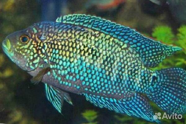 Аквариумная рыбка цихлазома  Начинающим аквариумистам