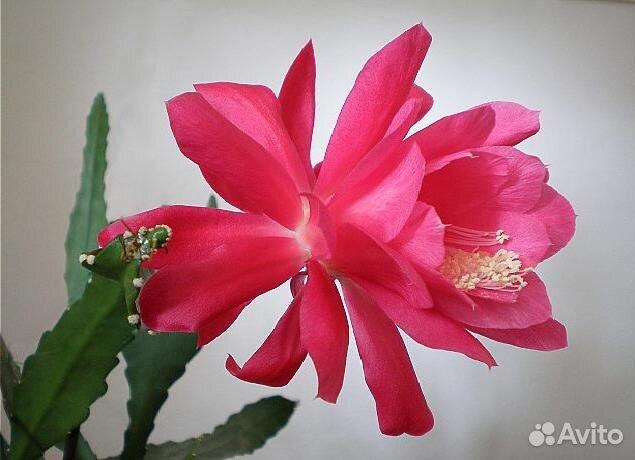Купить цветы домашние на авито