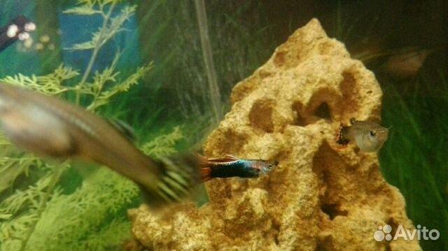 Аквариумные рыбки  myaquaclubrufish