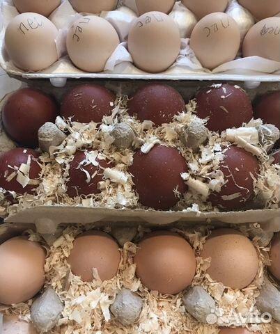 Инкубация куриных яиц мясо яичных пород