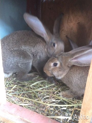 Кролики 89780705271 купить 3