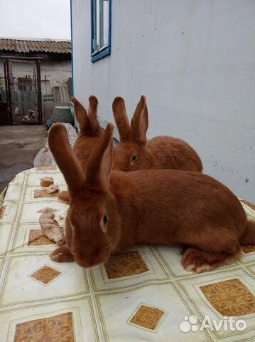 Племенные кролики 89065705365 купить 6