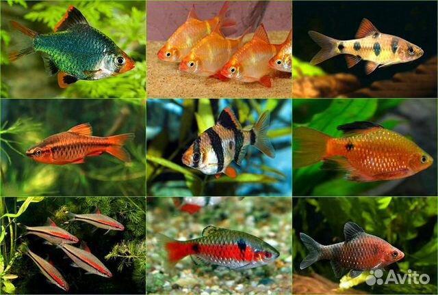 все названия аквариумных рыбок с картинками круглые квадратного