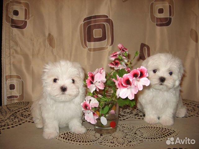 Продам щенков Мальтийских болонок купить на Зозу.ру - фотография № 5