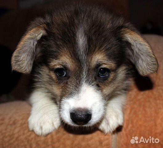 Вельш корги пемброк щенки купить на Зозу.ру - фотография № 2