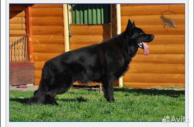 Подрощенный щенок купить на Зозу.ру - фотография № 6