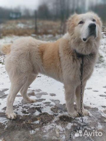 Продаються щенки Среднеазиатской овчарки купить на Зозу.ру - фотография № 2