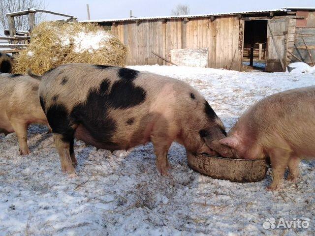 Свиньи супоросые купить 3