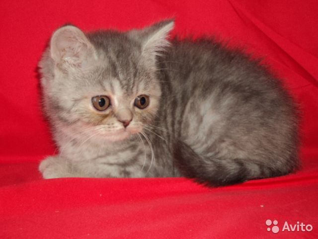 Котята британские девочки 89040755425 купить 1