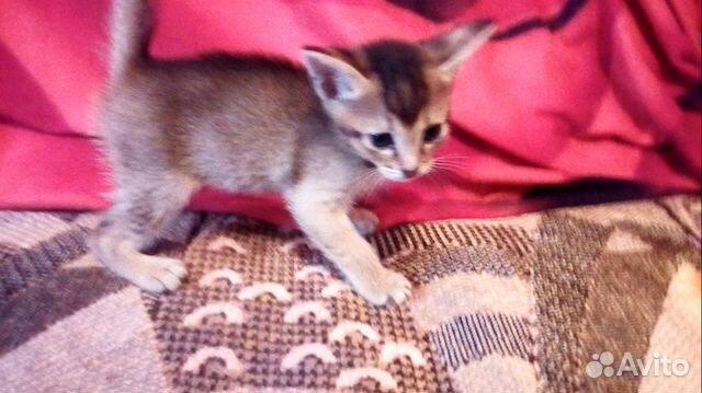 Abessinier kattunge