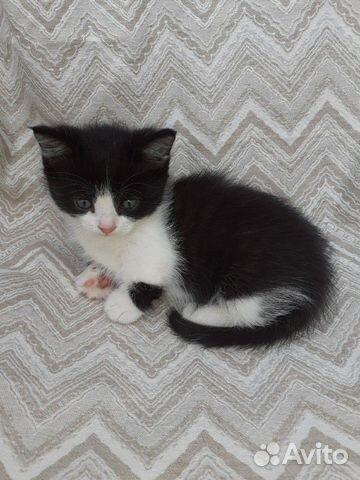 Котик породы манчкин