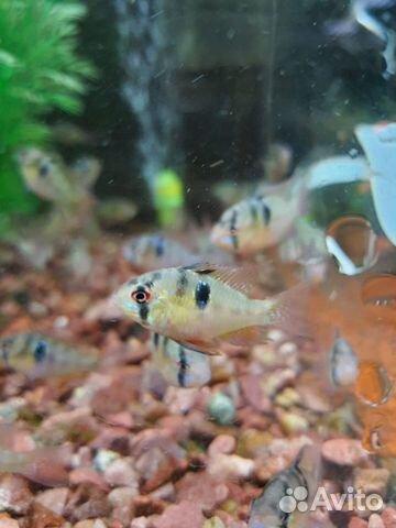 Поступление рыбы аквариумной  купить 6