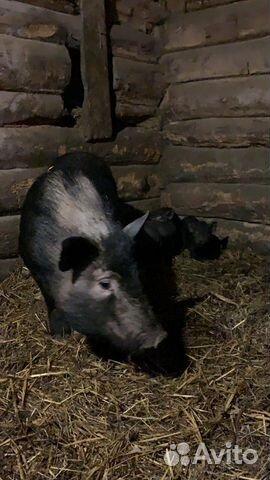 Vietnamsk pot-bellied pig  buy 1