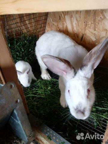 Кролик  89376707200 купить 5