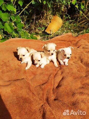 Чихуахуа мини щеночки