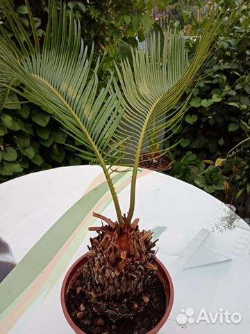 Комнатные растения  89512560859 купить 7