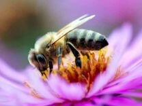Пчелы и пчелопакеты