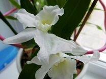 Орхидеи этого года. 2-е шт.осталось