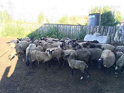 Овцы, бараны, молодняк Романовской породы