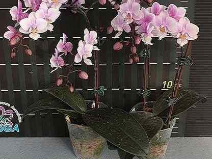 Jiaho's Pink Girl орхидея фаленопсис