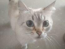 Кошка штландской породы