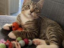 Котёнок мальчик 3 месяца. В дар