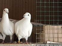 Голуби польские — Птицы в Москве