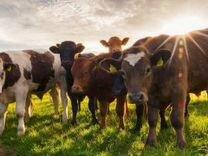 Продам двух дойных коров (3 отела), 3 телки (1,5 г
