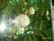 Рыбки аквариумные Фламинго
