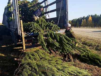 Для новогодних базаров живые елки