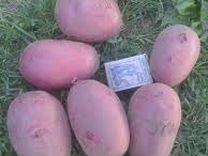Продам картофель деревенский