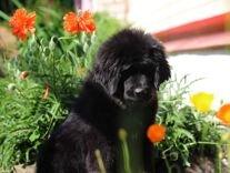 Собака лев, щенки тибетского мастифа