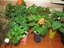 Цветы комнатные Колпино
