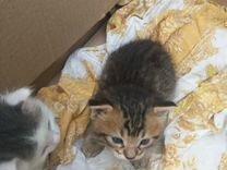 Подарю пушистых котят